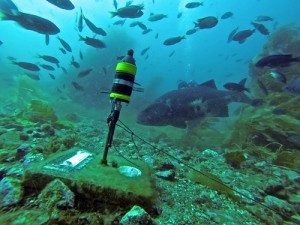 Giant sea bass sounds are recorded by a hydrophone.