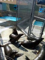 The Plight of the California Sea Lion, Part 2