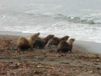 Release of Rehabilitated California Sea Lions