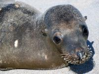 The Plight of the California Sea Lion