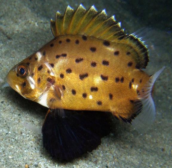 Juvenile giant sea bass