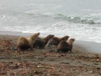 Release of Rehabilitated California Sea Lions